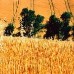 agricoltura-grano